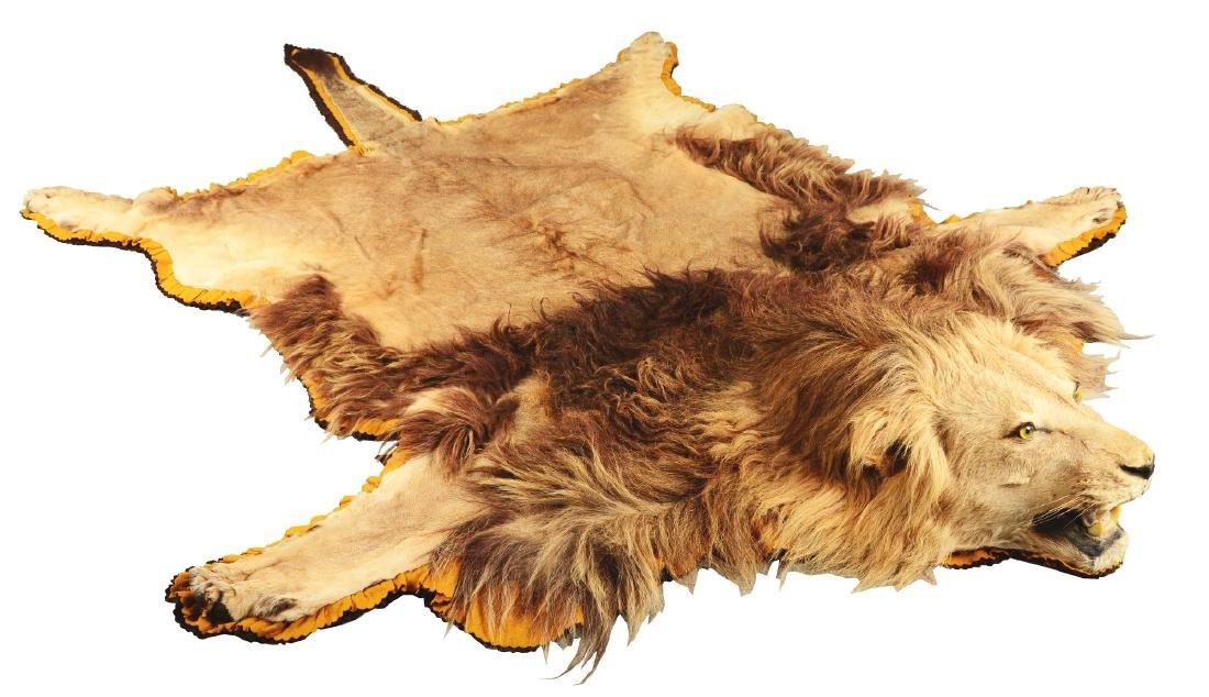 African Lion Skin Rug.