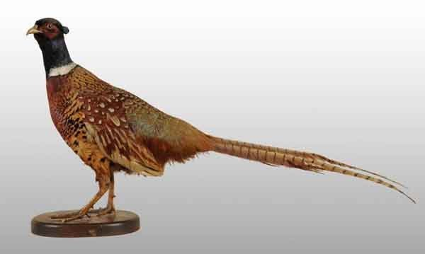 24: Mounted Ringneck Male Pheasant.