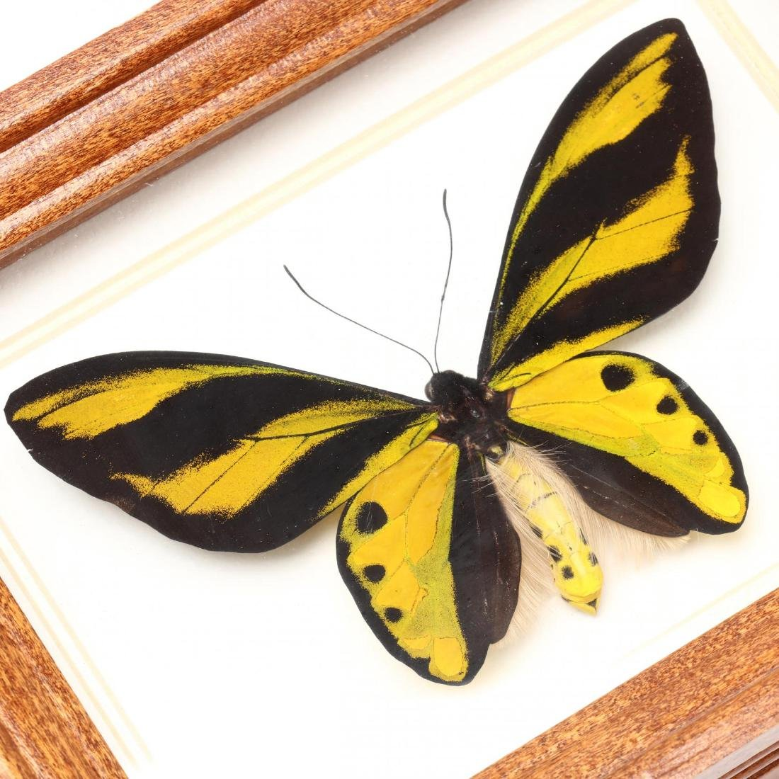 Four Insect Shadow Box Displays - 5