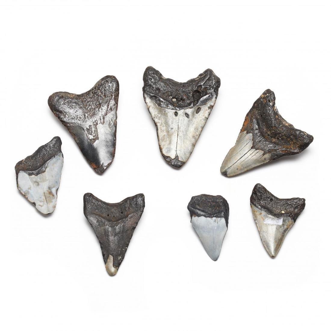 Seven Prehistoric Shark Teeth - 2