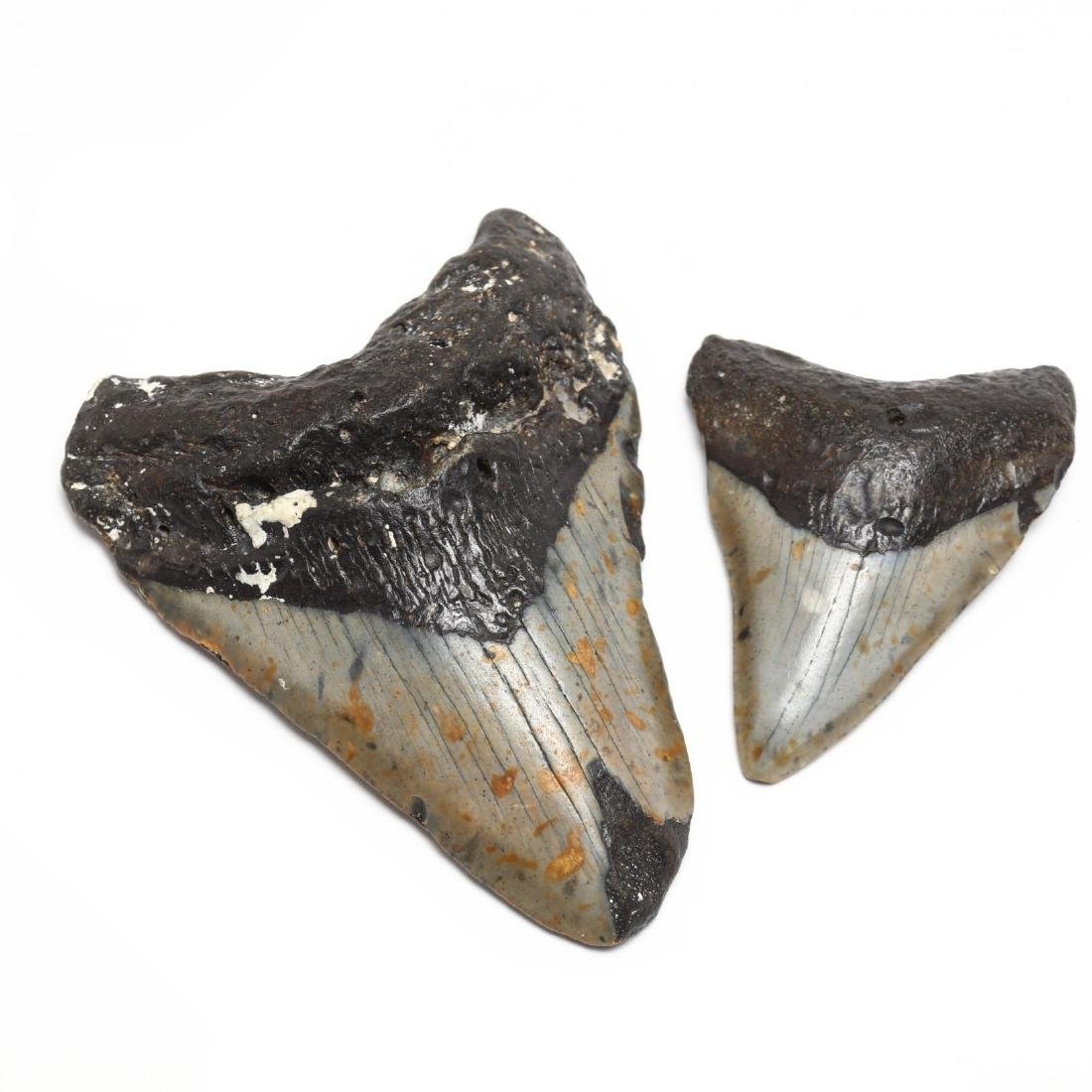 Seven Prehistoric Shark Teeth - 3