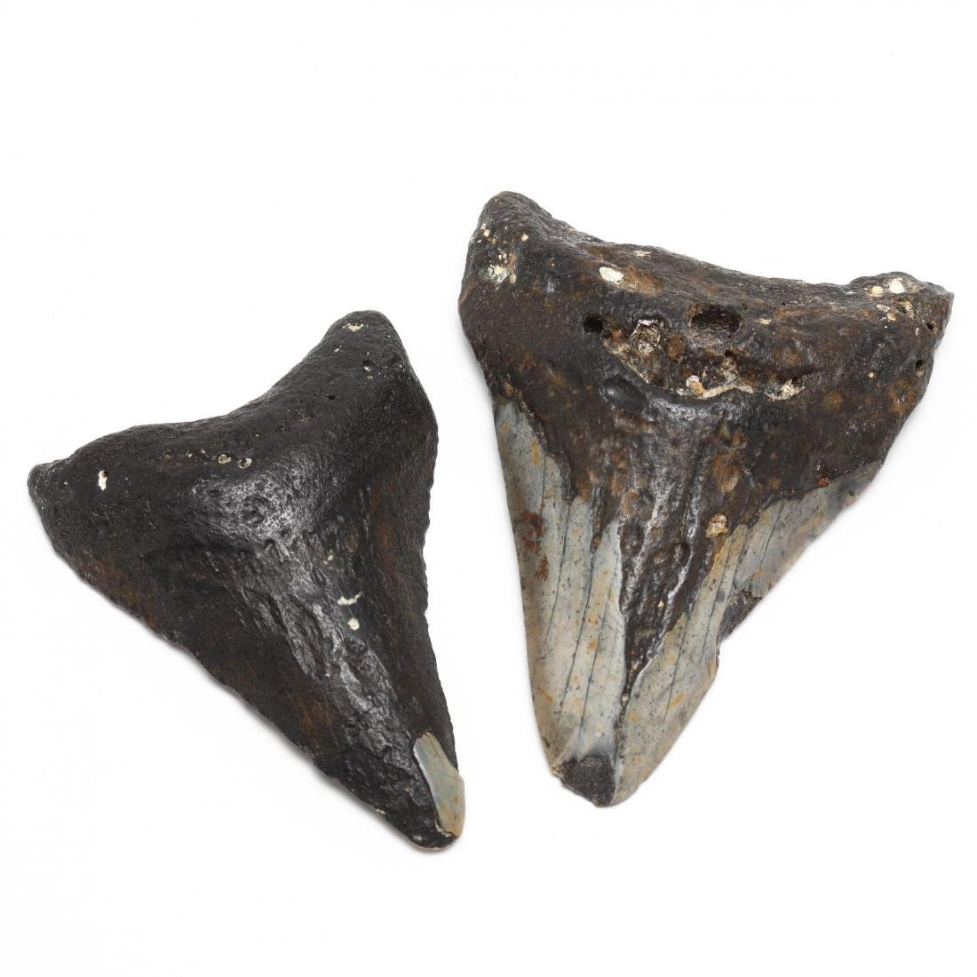 Seven Prehistoric Shark Teeth - 4