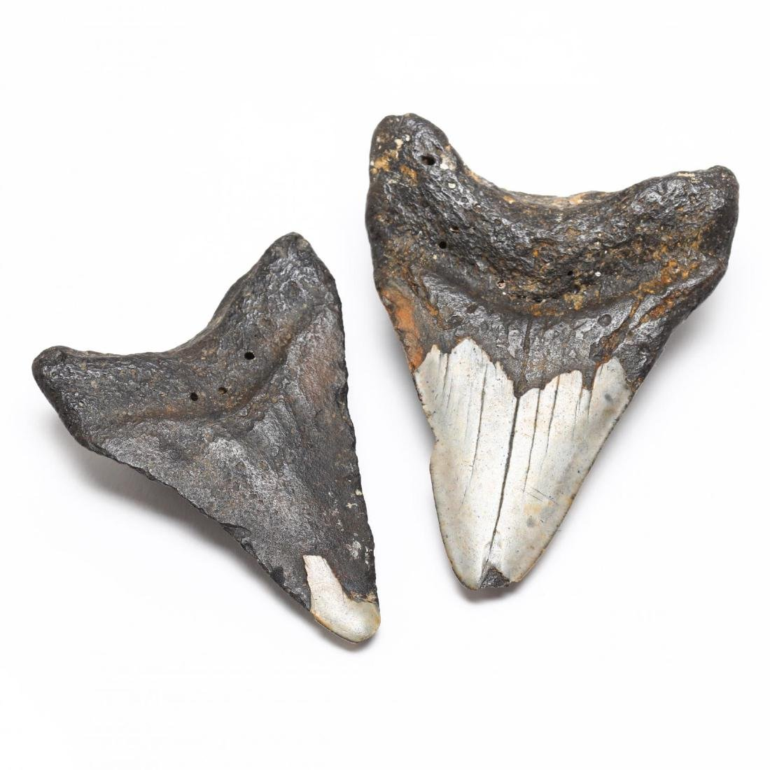Seven Prehistoric Shark Teeth - 5