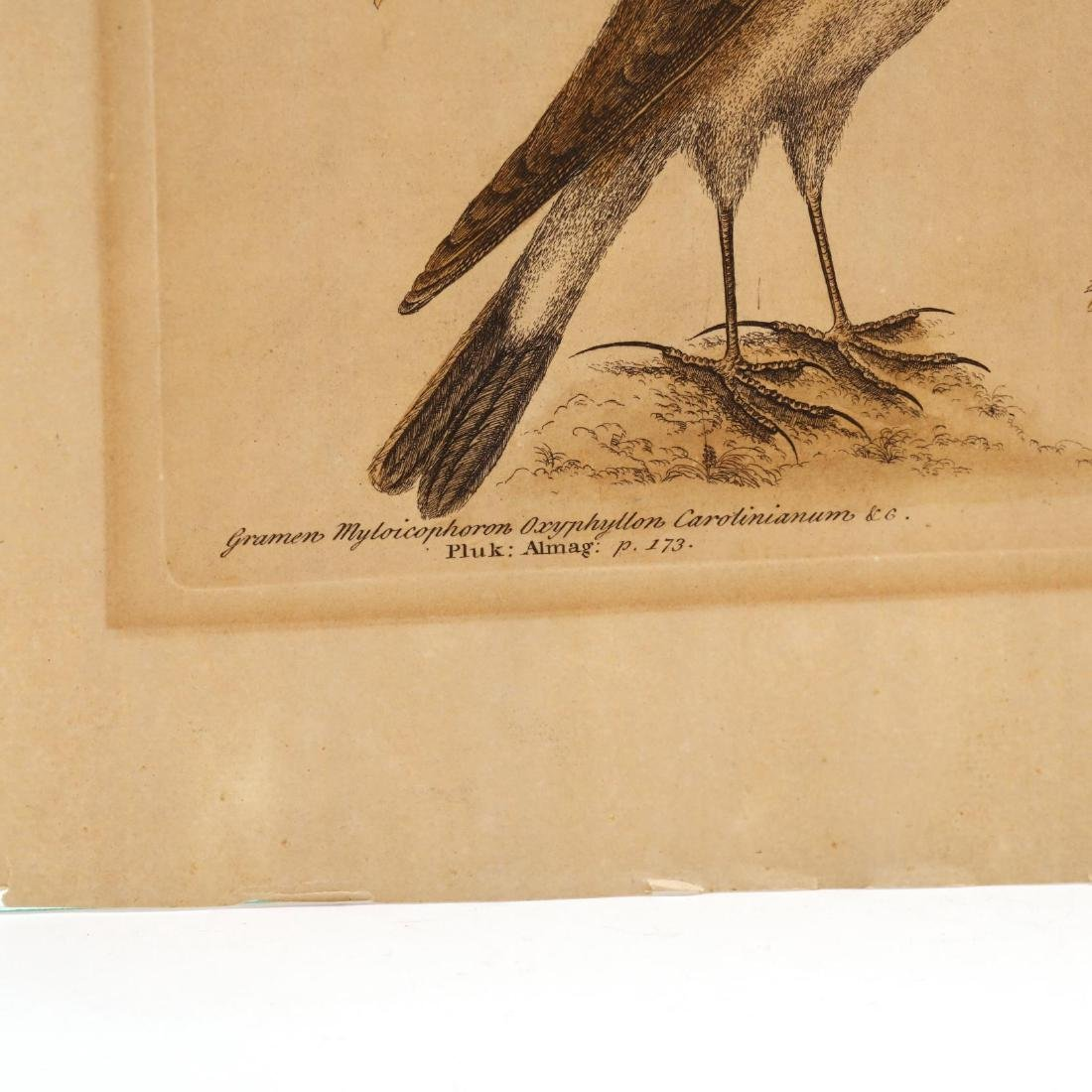 Mark Catesby (British, 1679-1749), Two Engravings from - 7