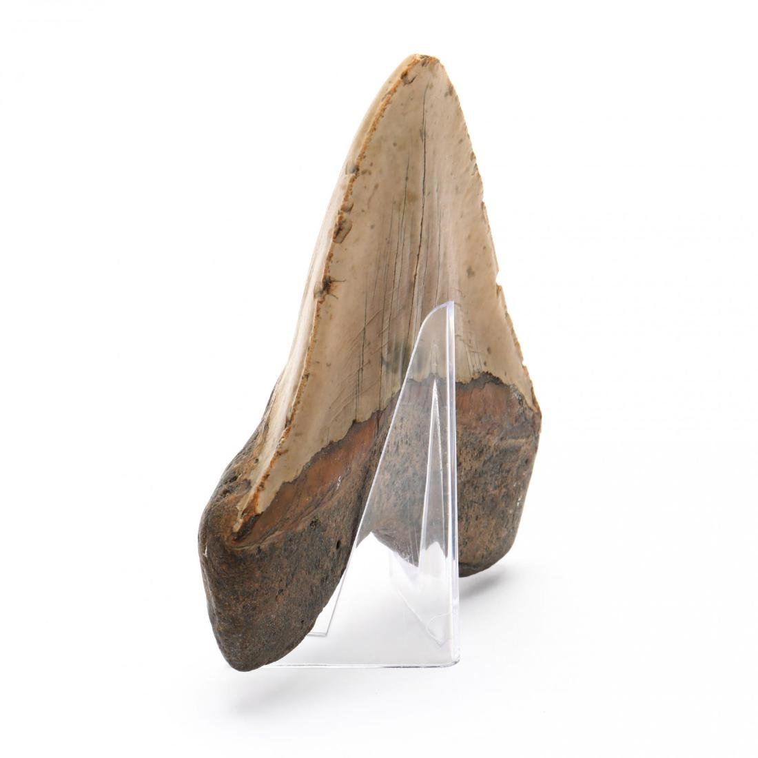 Large 6 in. Megalodon Tooth - 2