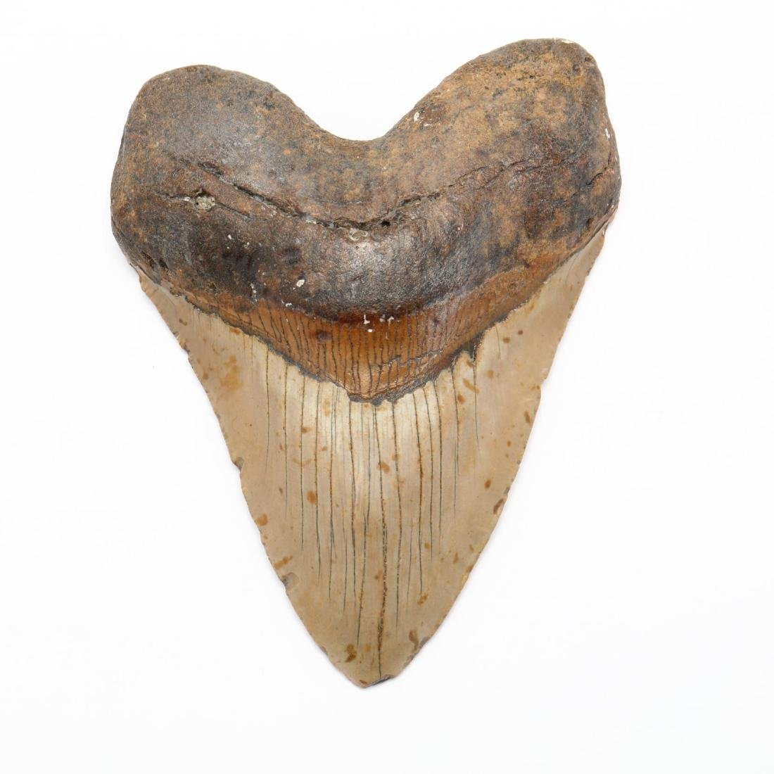Large 6 in. Megalodon Tooth - 3