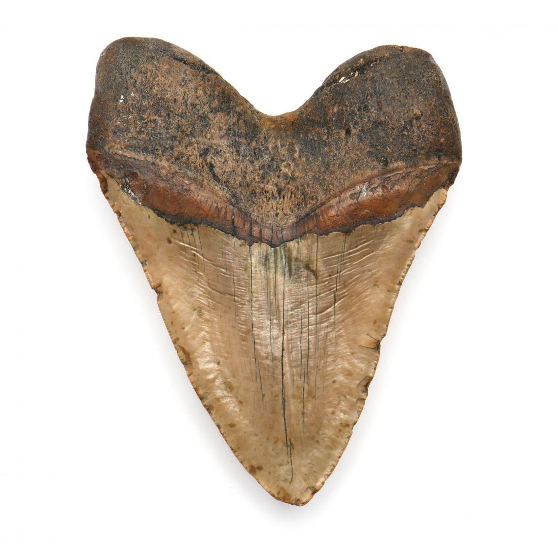 Large 6 in. Megalodon Tooth - 4