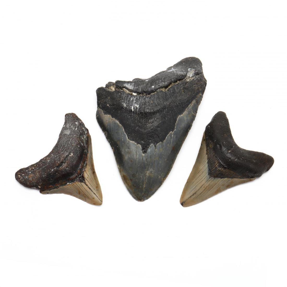 Three Megalodon Teeth