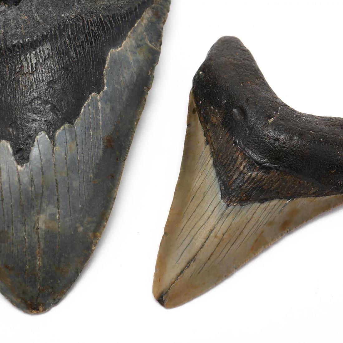Three Megalodon Teeth - 3
