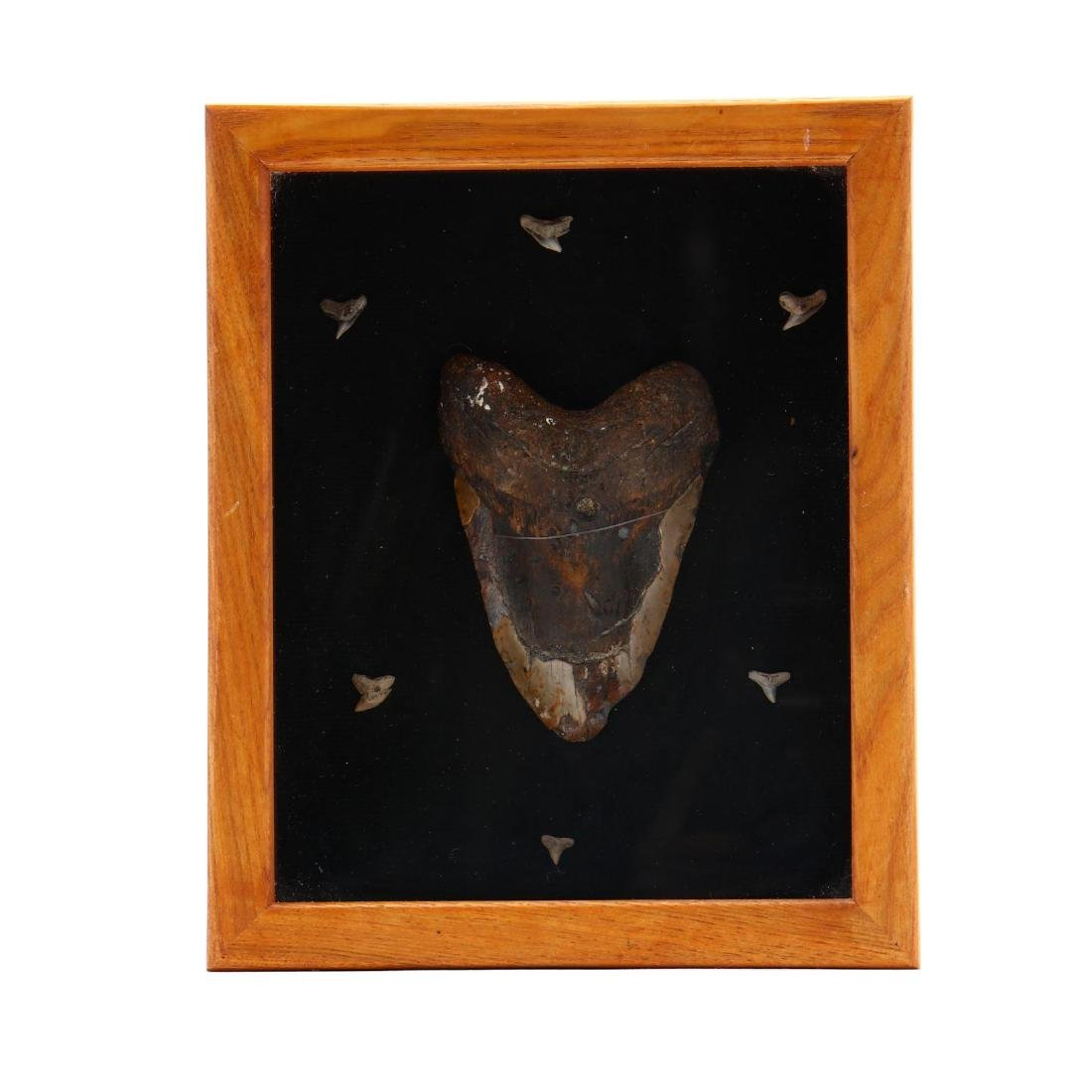 Large Megalodon Tooth in Shadowbox Display
