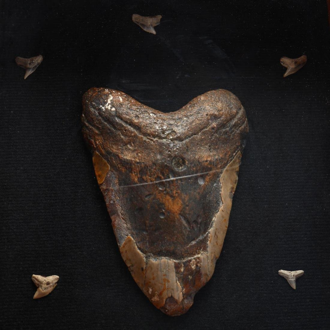Large Megalodon Tooth in Shadowbox Display - 2