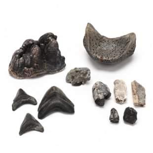 North Carolina Maritime Fossil Assortment