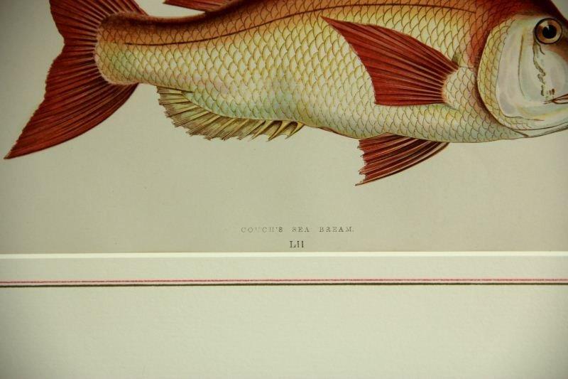 5: Two Antique Fish Prints - 2