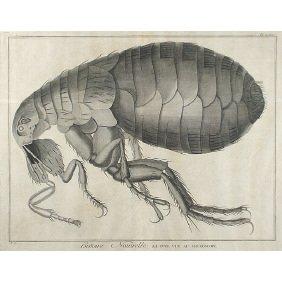 19: Early 17C. Natural History Micrographia Flea Print