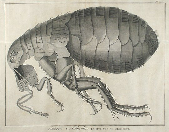 19: Early 17C. Natural History Micrographia Flea Print