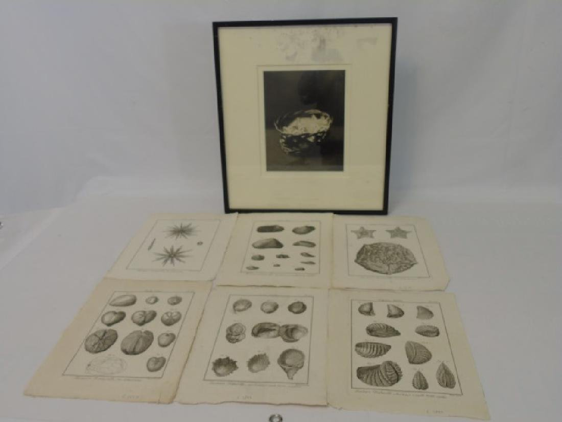 6 Seashell Antique Engravings & Photo of Kittens