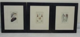 Three Framed Colored Prints of Sea Shells