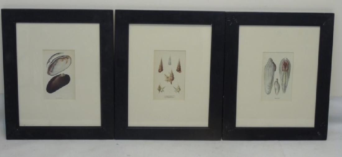 Three Framed Colored Prints of Sea Shells