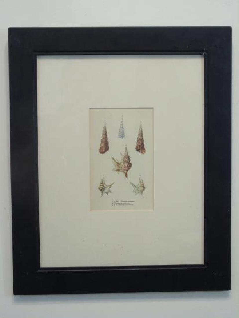 Three Framed Colored Prints of Sea Shells - 2