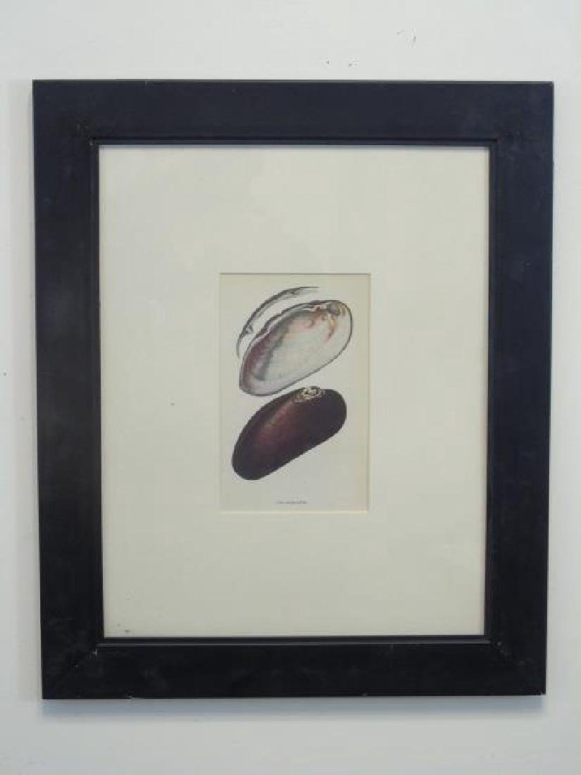 Three Framed Colored Prints of Sea Shells - 3