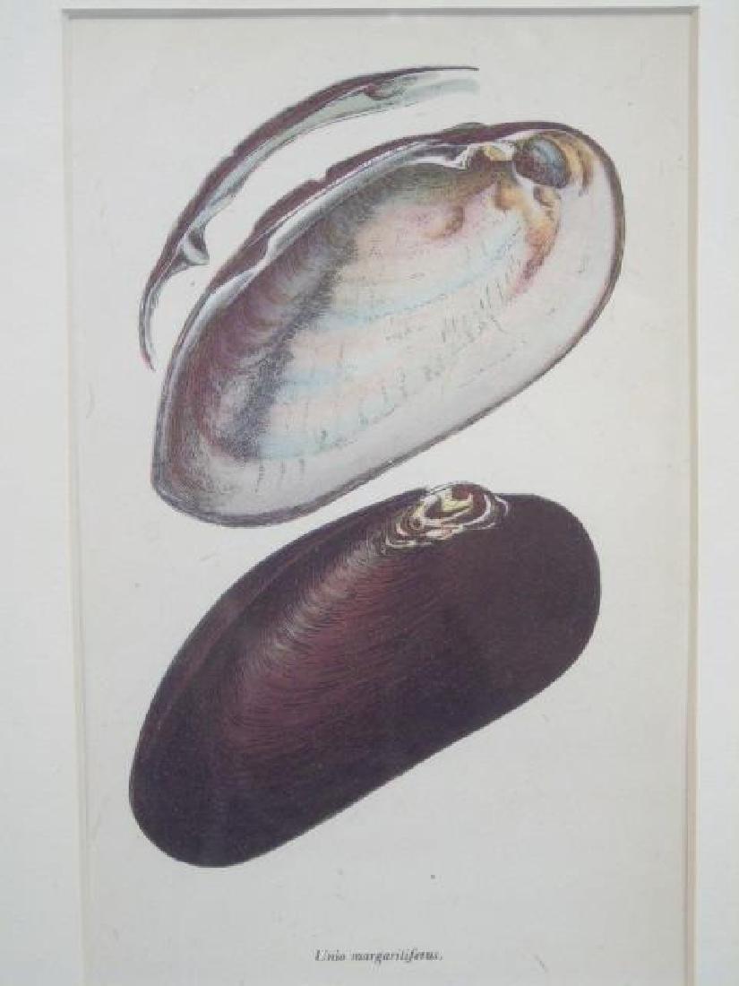 Three Framed Colored Prints of Sea Shells - 4