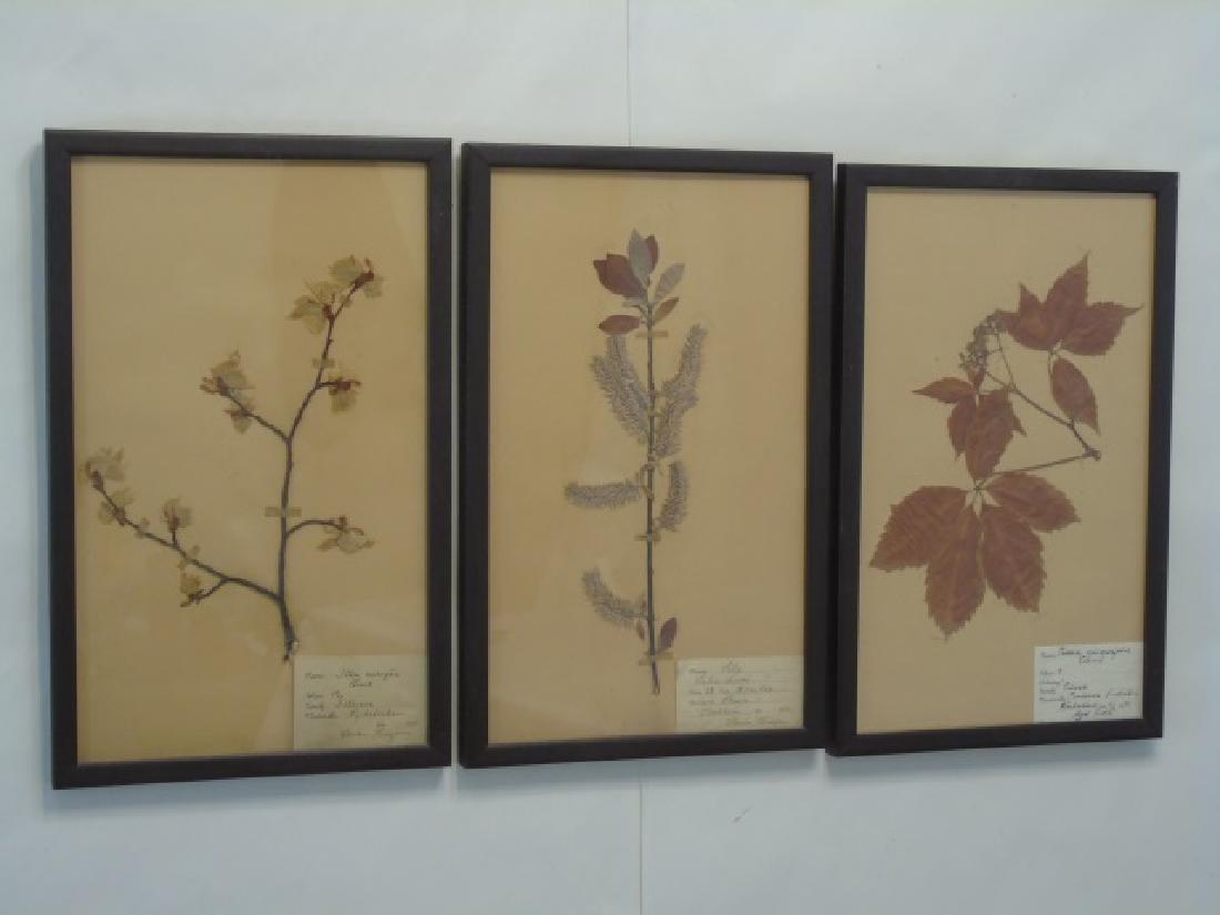 3 Antique Framed Botanical Studies c.1915