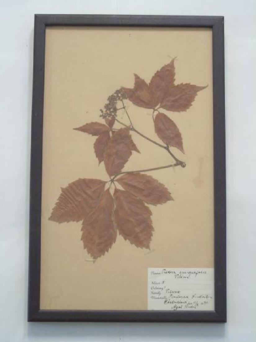 3 Antique Framed Botanical Studies c.1915 - 2