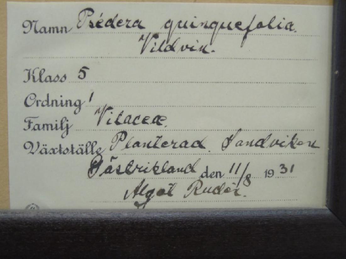 3 Antique Framed Botanical Studies c.1915 - 3