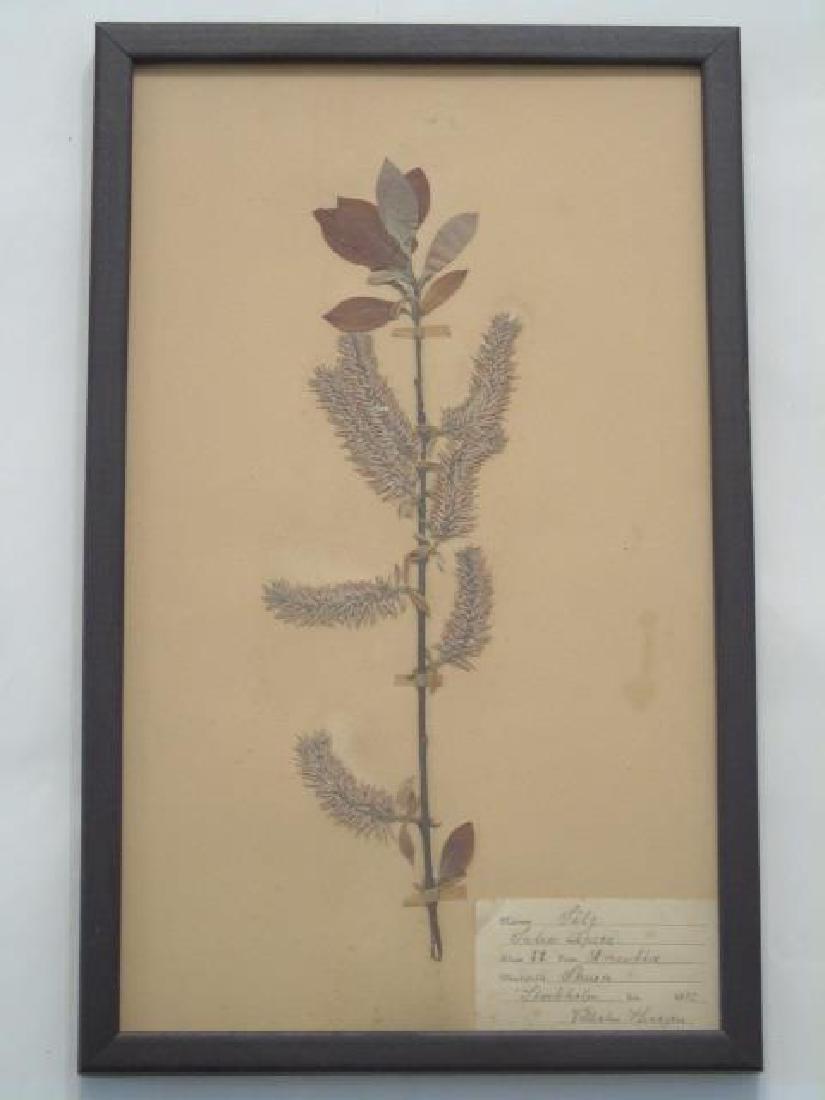 3 Antique Framed Botanical Studies c.1915 - 4
