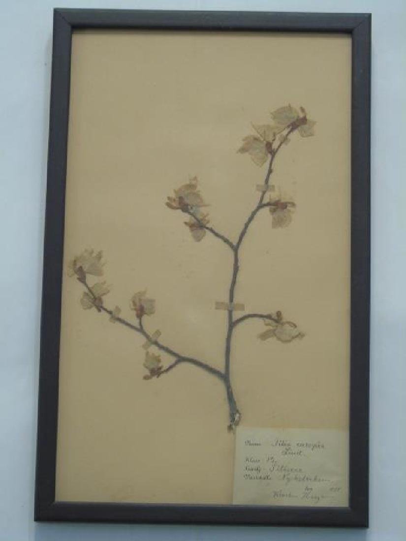 3 Antique Framed Botanical Studies c.1915 - 6