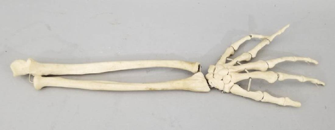 Vintage Medical Model Skeleton Bone Arm & Hand