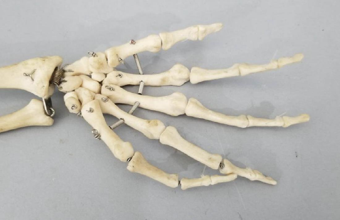 Vintage Medical Model Skeleton Bone Arm & Hand - 7