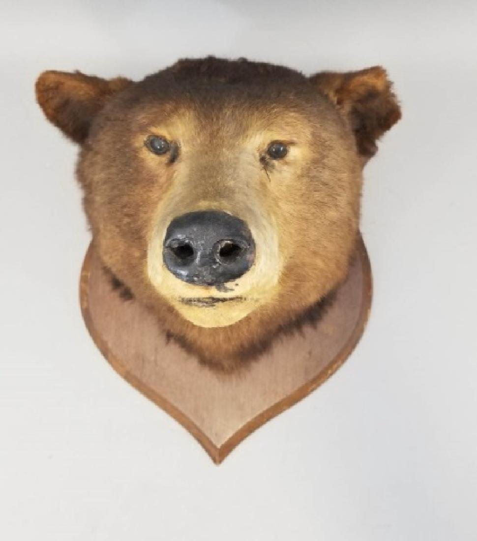 Antique Early 20th C Taxidermy Bear on Shield Back