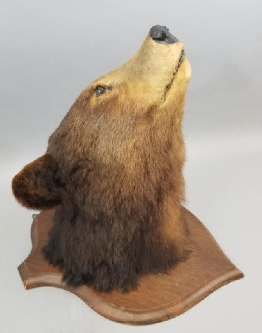 Antique Early 20th C Taxidermy Bear on Shield Back - 2