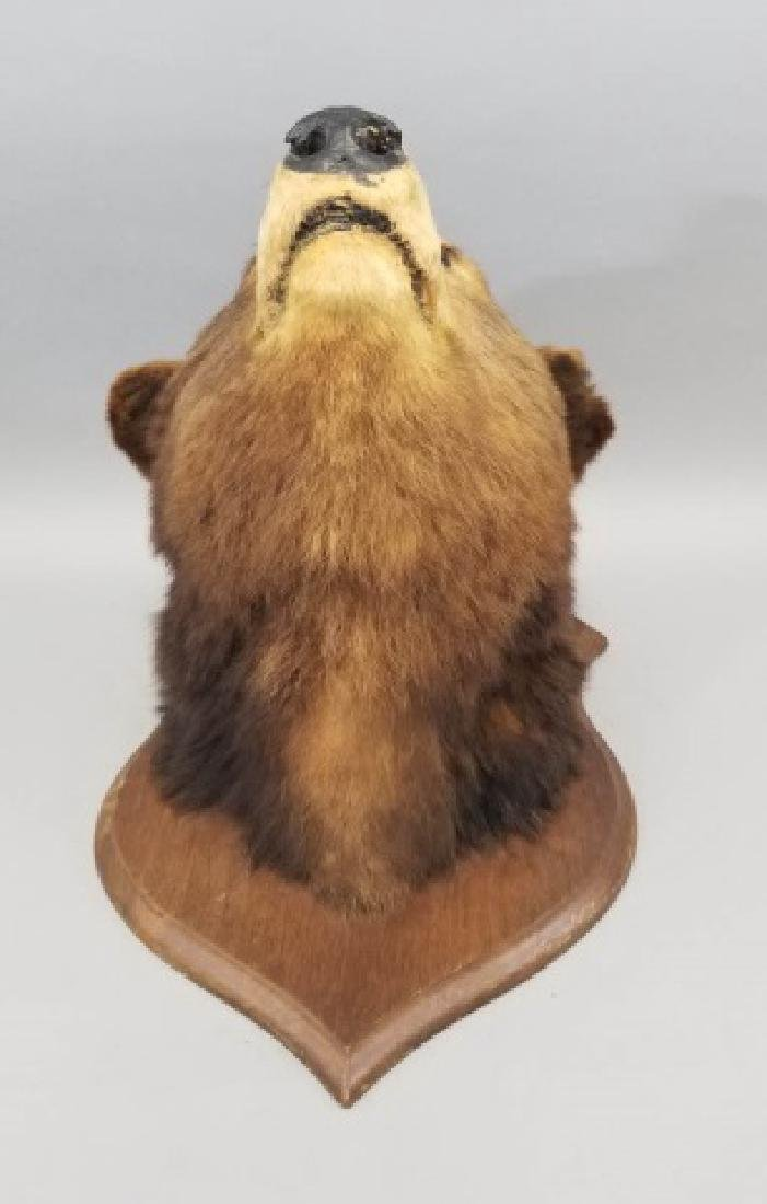 Antique Early 20th C Taxidermy Bear on Shield Back - 3