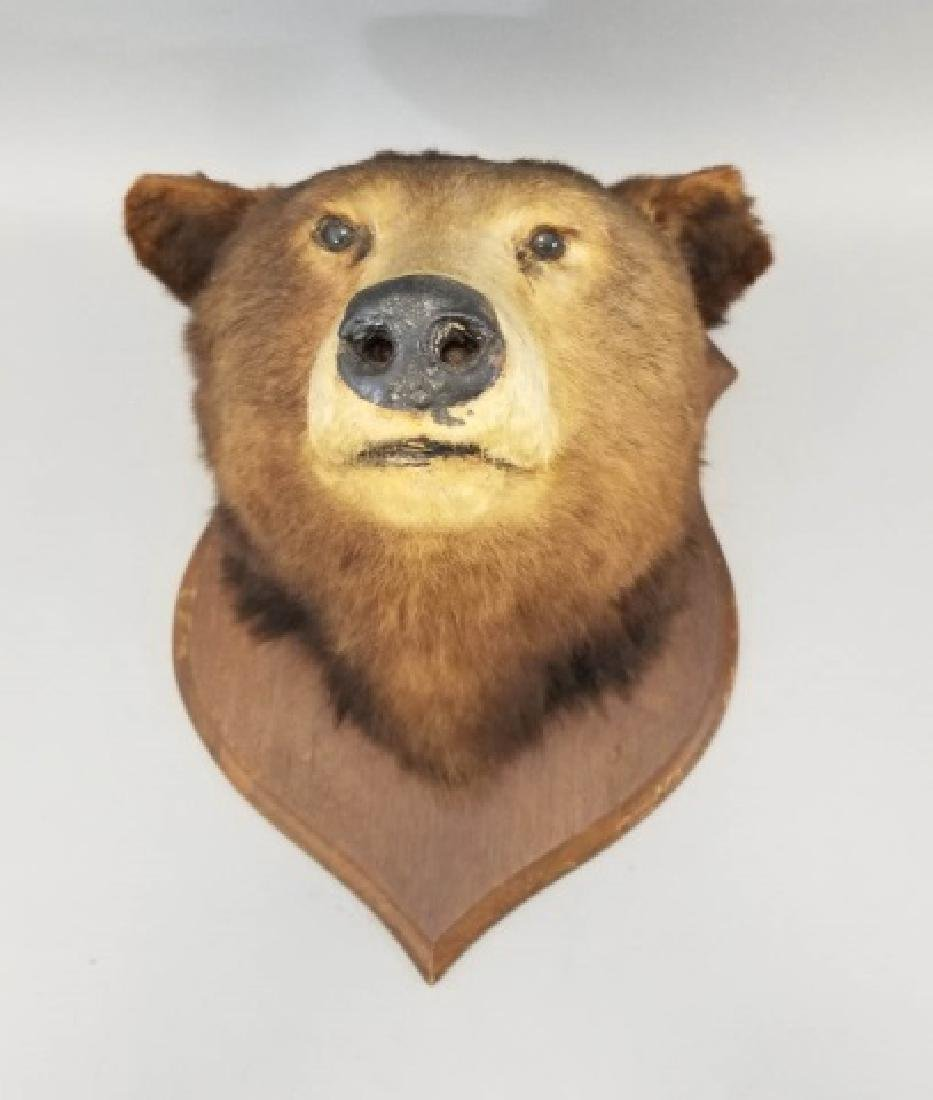 Antique Early 20th C Taxidermy Bear on Shield Back - 4