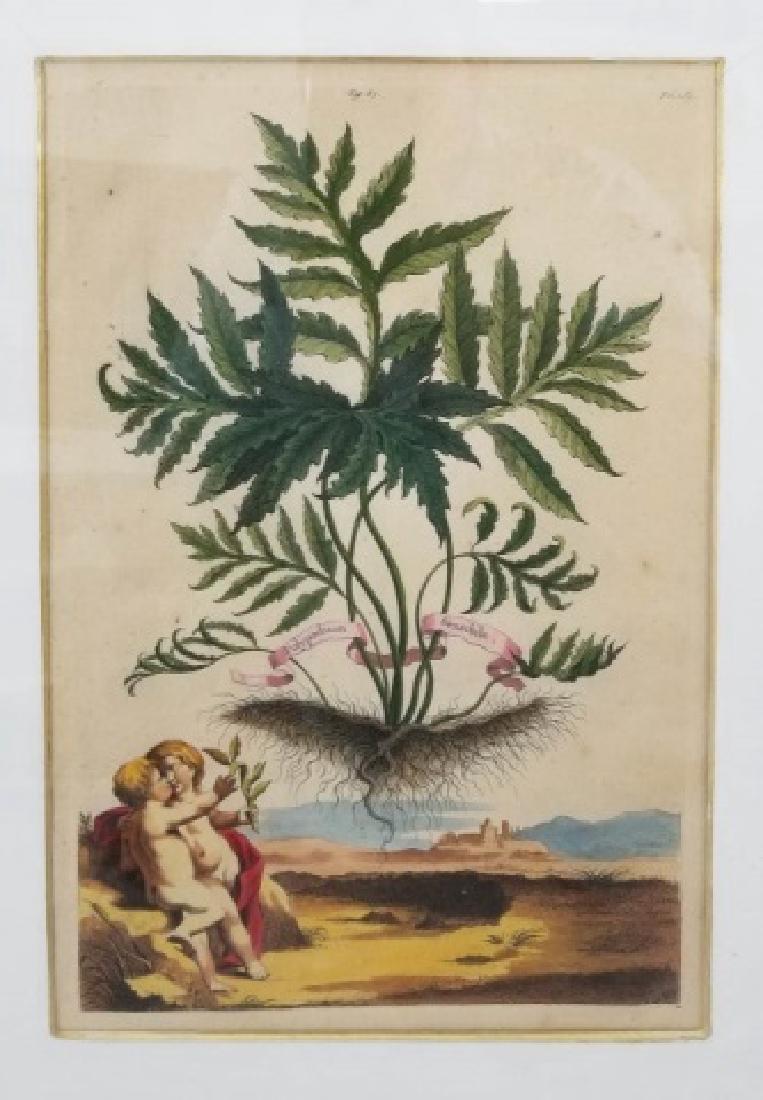 Antique Color Engraving Polypodium Sensibile Fern - 4