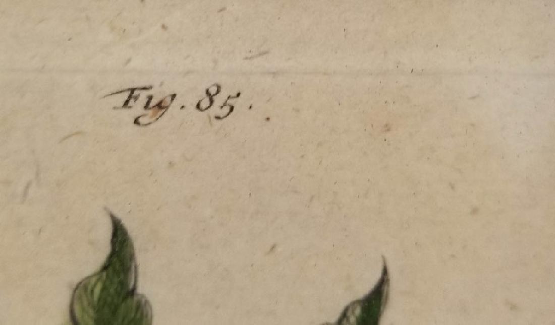 Antique Color Engraving Polypodium Sensibile Fern - 6