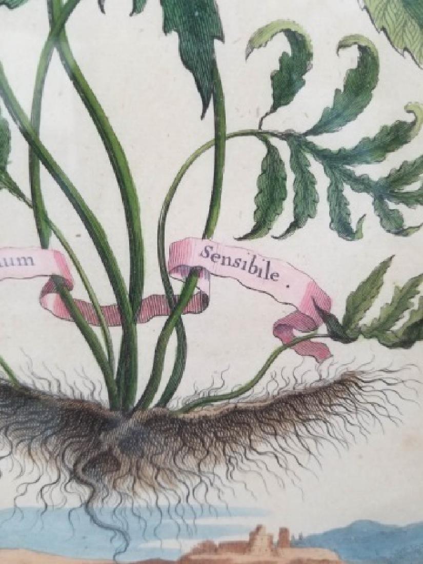 Antique Color Engraving Polypodium Sensibile Fern - 8