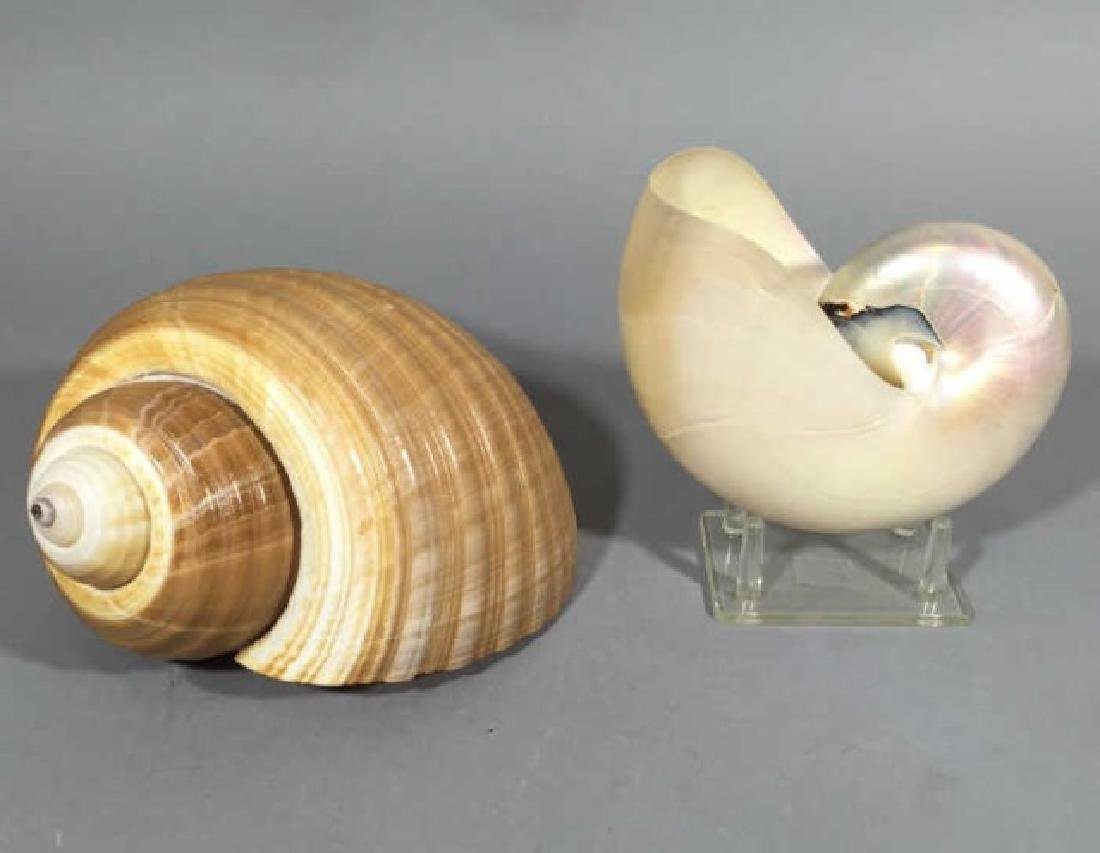 2 Natural Specimen Sea Shells Nautilus & Giant Tun