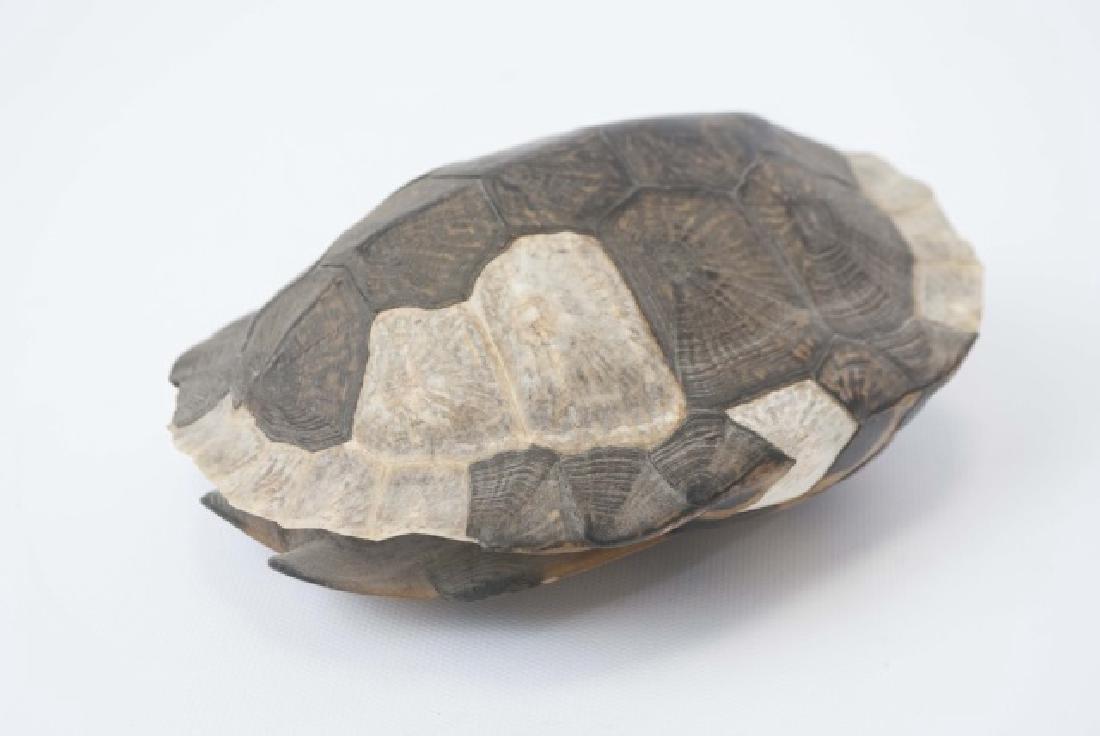 Nature Specimen - 7 Inch Turtle Shell