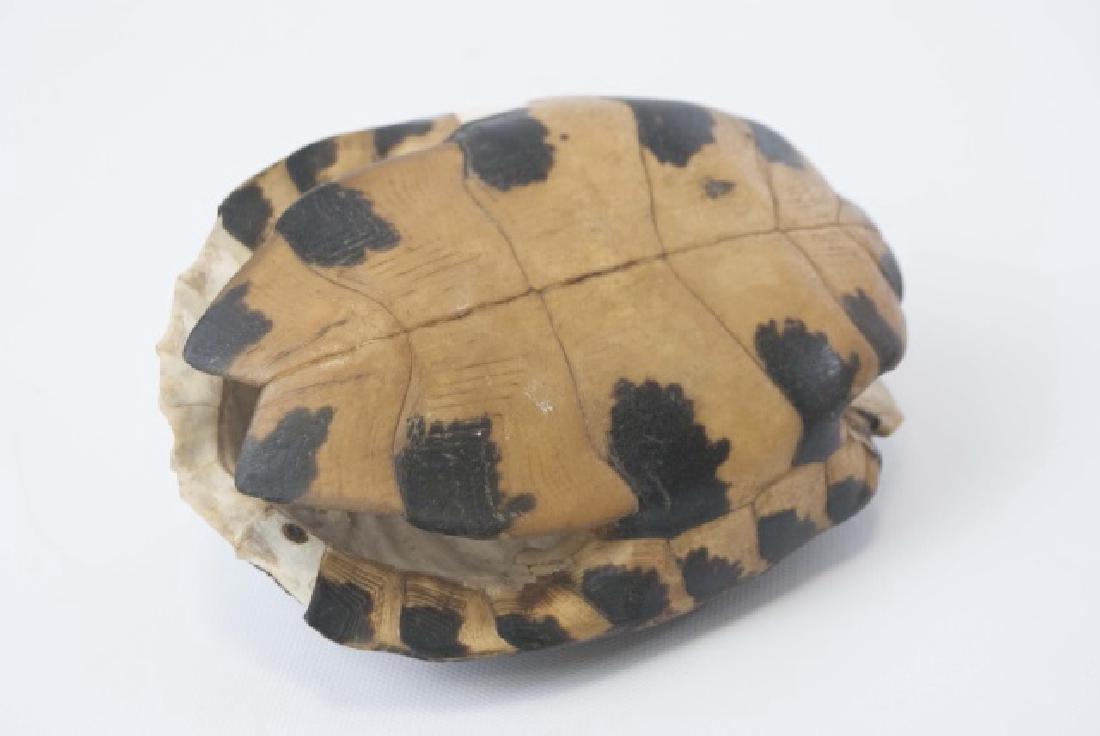 Nature Specimen - 7 Inch Turtle Shell - 2