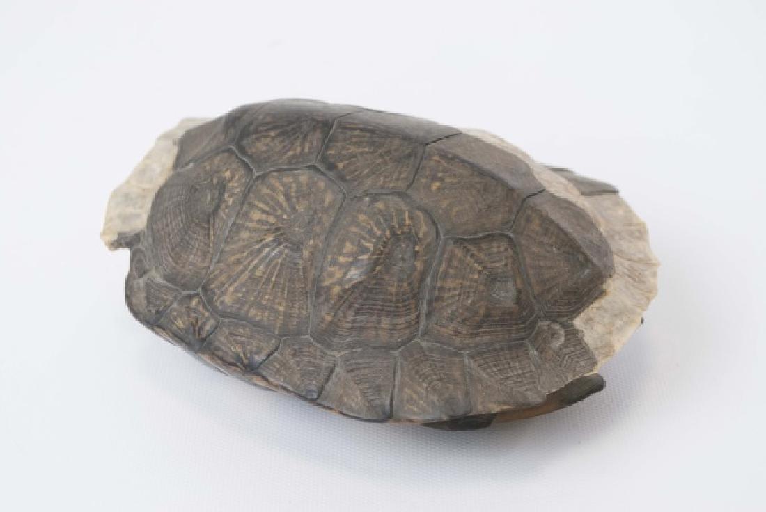 Nature Specimen - 7 Inch Turtle Shell - 3