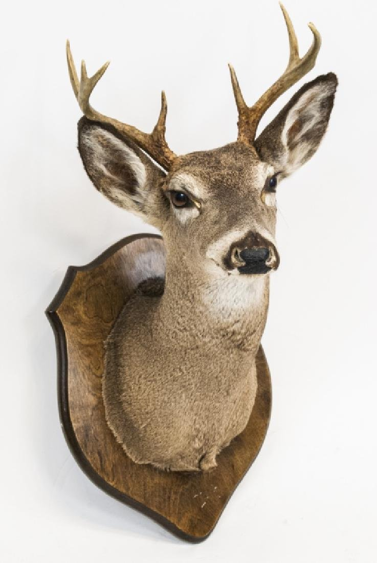 Vintage Hunting Trophy - Taxidermy Deer Buck Head