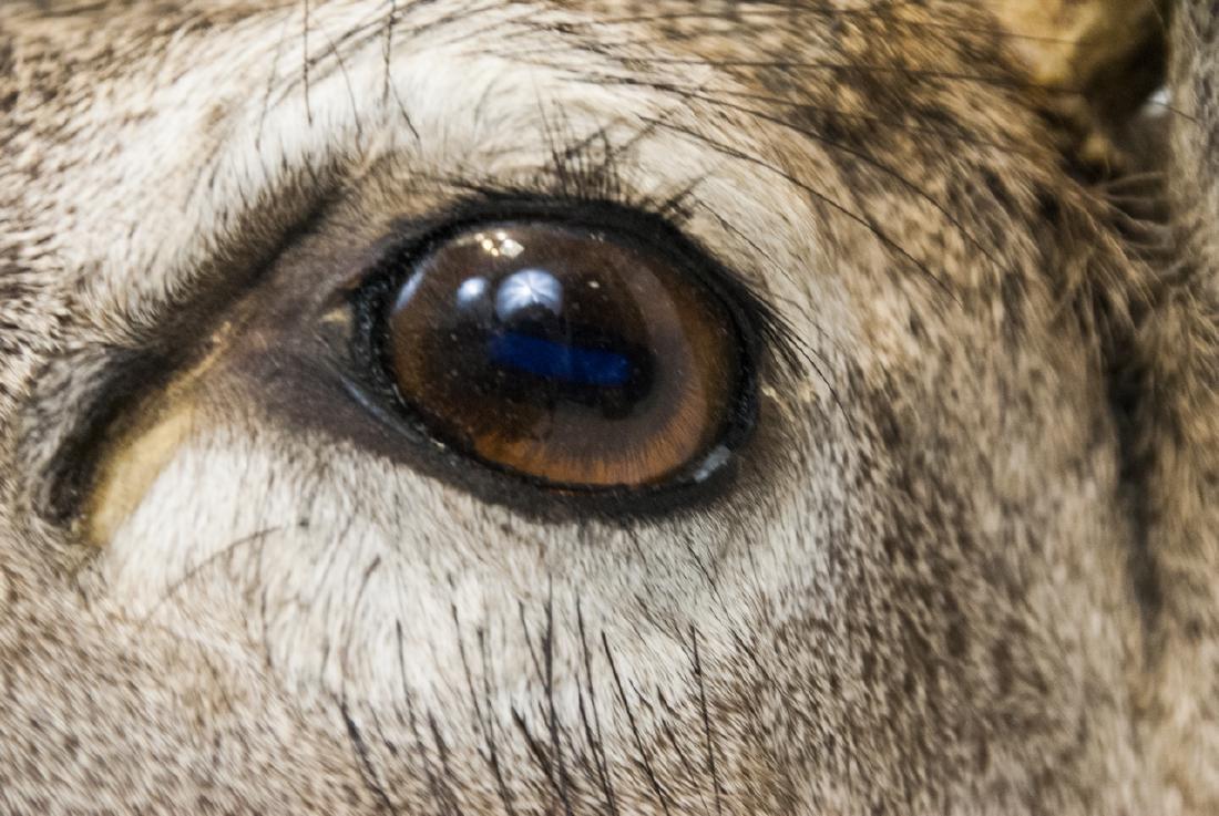 Vintage Hunting Trophy - Taxidermy Deer Buck Head - 2