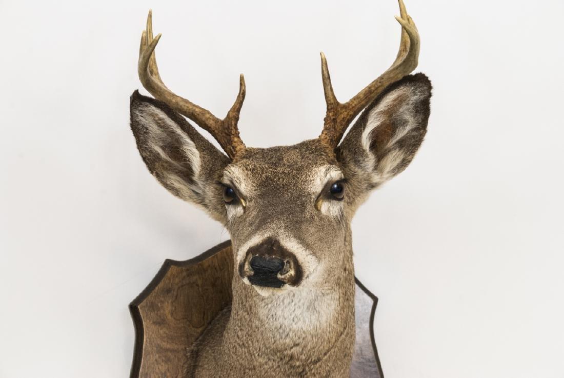 Vintage Hunting Trophy - Taxidermy Deer Buck Head - 4