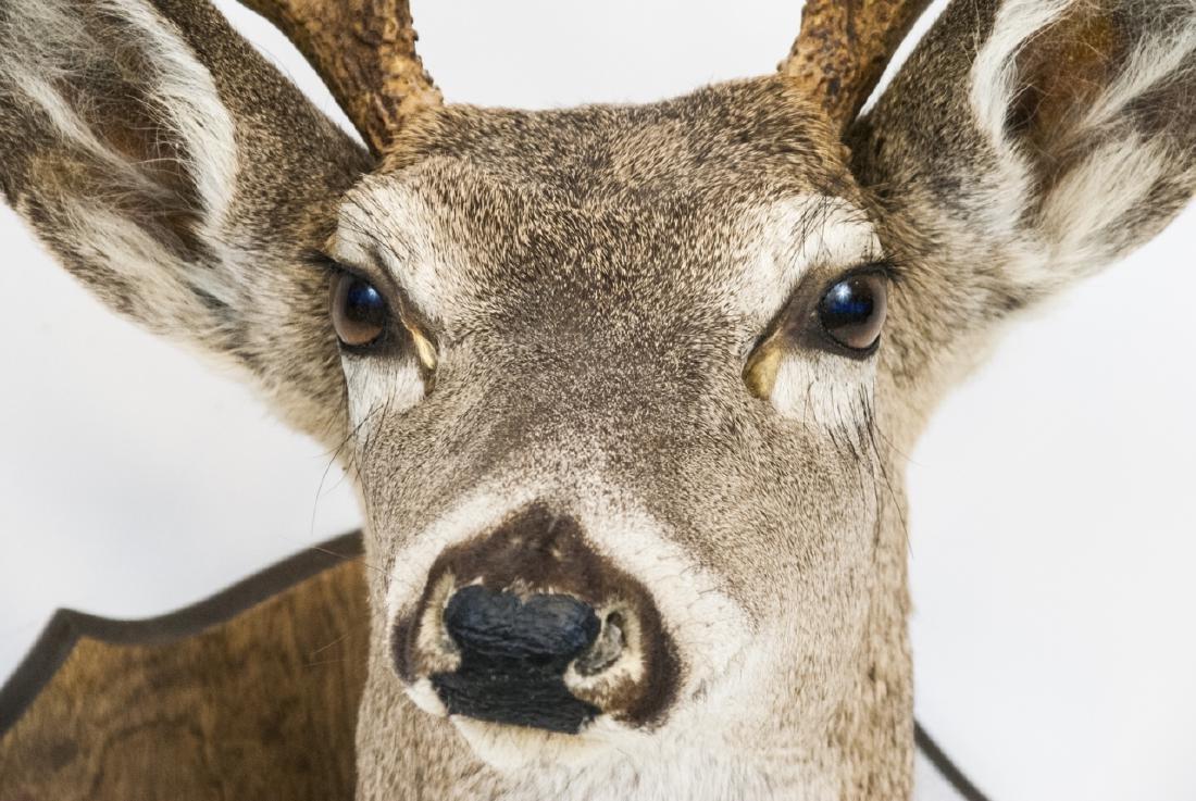 Vintage Hunting Trophy - Taxidermy Deer Buck Head - 5