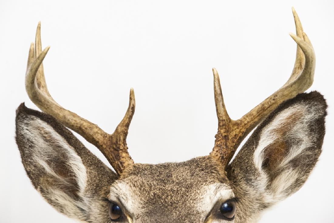 Vintage Hunting Trophy - Taxidermy Deer Buck Head - 6