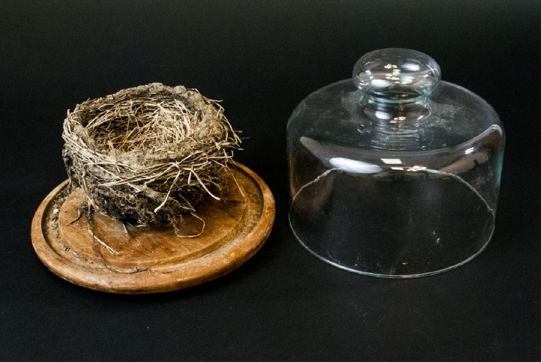 Natural Birds Nest Specimen in Glass Cloche Dome