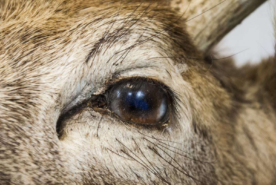 Vintage Hunting Trophy - Taxidermy Deer Buck Head - 3
